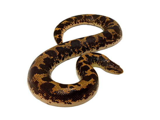 Picture of Kenyan Sand Boa